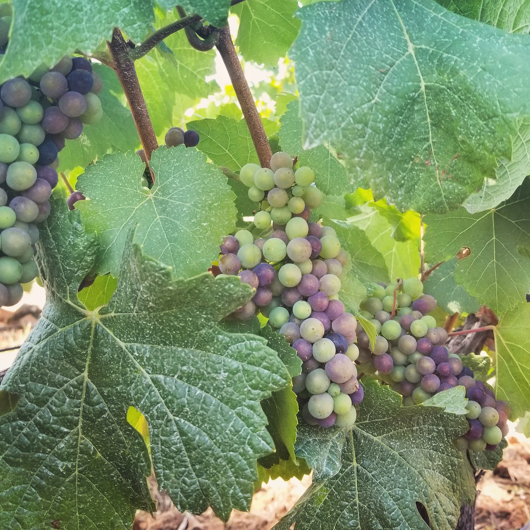 veraison at le cadeau vineyard